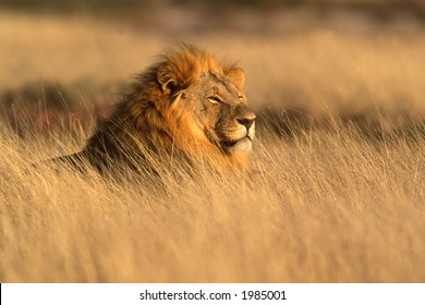 Big male lion (Panthera leo) lying in the grass, Etosha National Park, Namibia