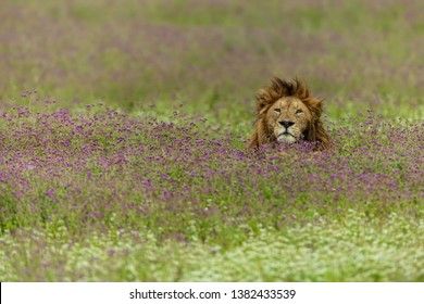 big male lion relaxing in the field of purple flowers in Ngorongoro crater
