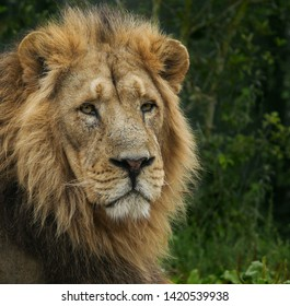 Big male lion with a thick mane