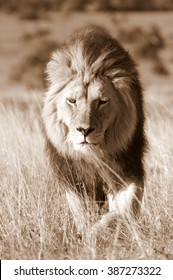 A big male lion walks towards our vehicle while on safari in Africa. He was hunting.