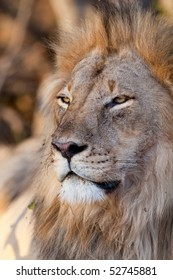 A big male lion's face in full shade