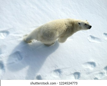 Big male Polar Bear (Ursus maritimus) walking below the expedition cruise ship on arctic ice flow north of Spitsbergen