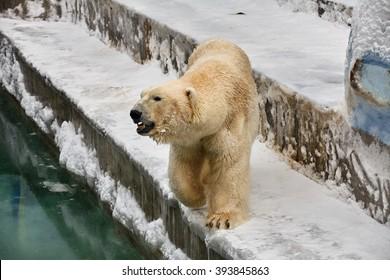 Big male polar beer walking in a zoo
