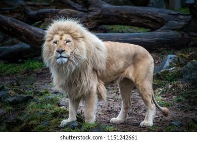 Big male white lion