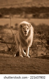 A big male white lion approaches in this sepia tone image.