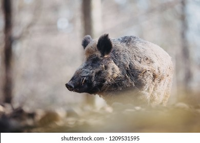 The big male wild boar (Sus scrofa) in Bavarian Forest National Park