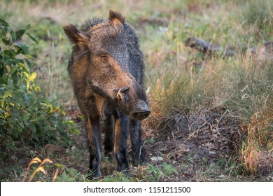 Big male wildboar