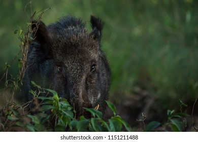Big male wildboar standing behind some bushes