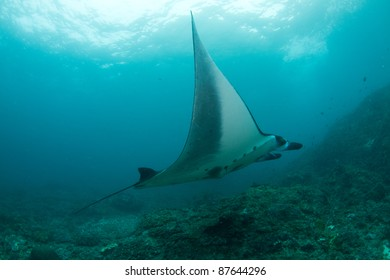 big manta ray swimming in mid water
