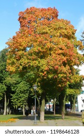 Big maple tree with orange and red leaves in the public park. Nature in autumn background concept.
