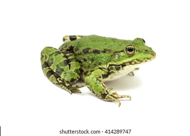 big marsh frog on a white background