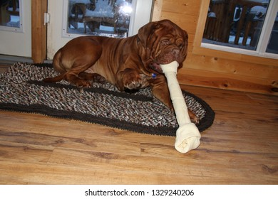 big mastiff dog chewing big bone