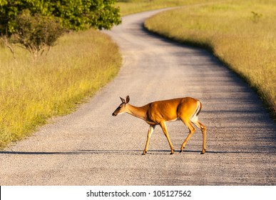 Big Meadow in the national park off Skyline Drive in Shenandoah valley Virginia is home to many white tailed deer