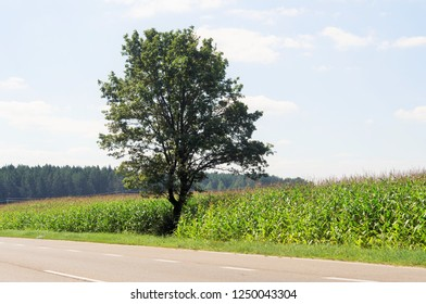 a big mighty oak tree grows on the edge of a corn field
