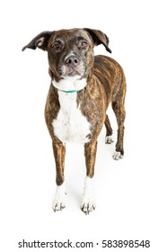 Big mixed breed dog with brown brindle color coat standing over white looking forward