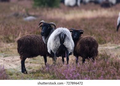 big moorland sheep herd in the luneburg heather in germany