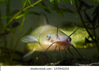 big mouth and barbels of dangerous invasive freshwater predator fish Channel catfish, Ictalurus punctatus, eyes stare, biotope aquarium macro photo