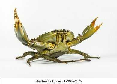 The big mud crab gets up in the fight stand and attacks on white background