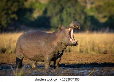 Big and muddy adult hippo standing in mud out of water with its mouth open in early morning sunlight in Chobe River in Botswana