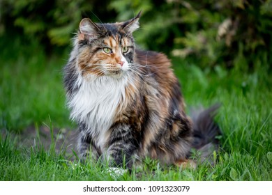 Big multi color maine coon cat on the grass