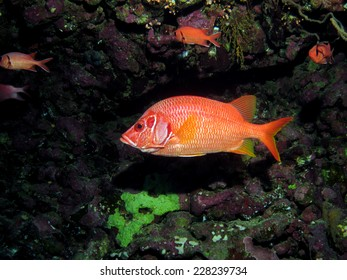 A big nocturnal red squirrelfish shying under a coral ledge