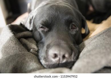 Big Nose of a Black Labrador Retriever