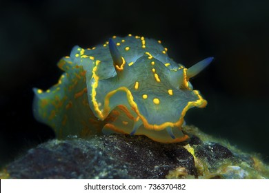 a big nudibranch searches for food in the sand