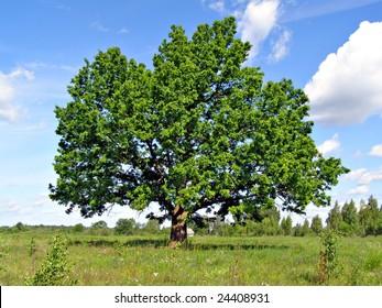 big oak on field