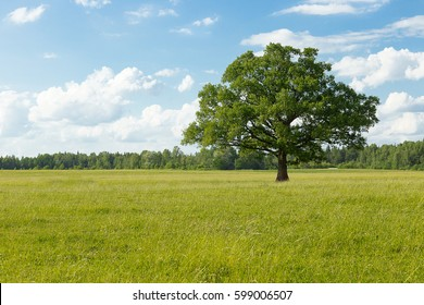 Big oak on the green field in summer, sunny day, Latvia.