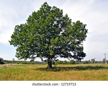 big oak on yellow field