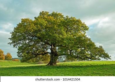 Big Oak tree in an English meadow.