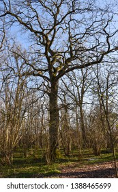 Big oak tree in a forest by early spring season