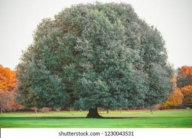 Big oak tree in Greenwich park, London
