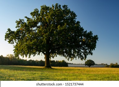 big oak tree in sunnset in bavaria blue sky in autumn
