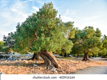 Big and old ancient olive tree in the olive garden in Mediterranean - Croatia or Greece.