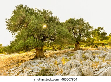 Big and old ancient olive tree in the olive garden in Mediterranean - Croatia or Greece. Sunset or sunrise.