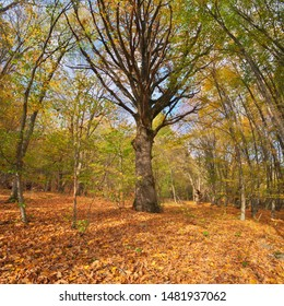 Big old autumn tree in forest. Nature composition.