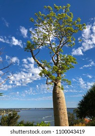 Big old Baobab, Boab Tree with Swan river in background against blue sky at Kings Park, Perth, Western Australia (Adansonia gregorii)