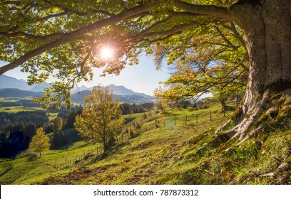 big old beech tree in autumn with sunset and sunbeams