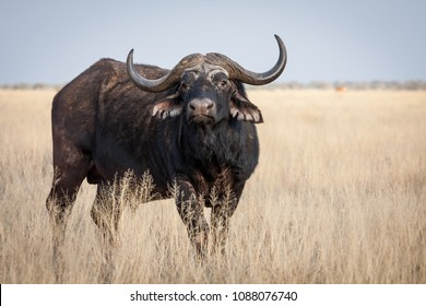 A Big old Cape Buffalo Dagga Bull ( Syncerus caffer) on a open grass plain