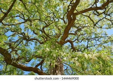 Big and old flowering Robinia (Robinia pseudoacacia)