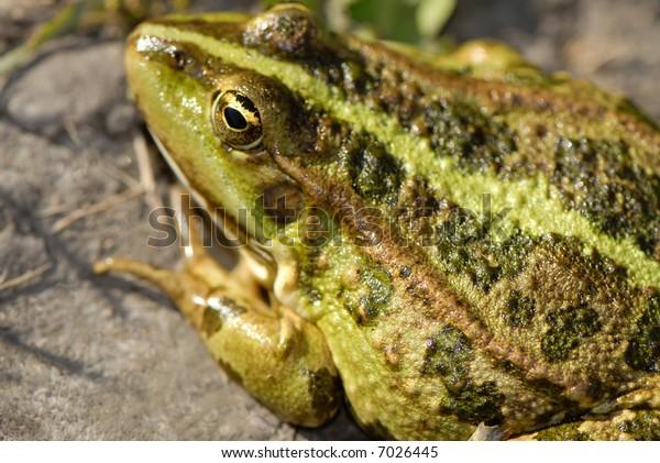 big old green frog on coast,  close up