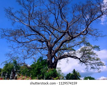 Big And Old Kepuh Or Sterculia Foetida Tree Around The Grave Area Patemon Village North Bali
