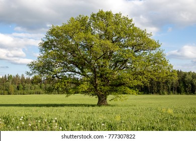 The big, old oak with green leaves grows in the green field against the background of the blue sky with clouds in summer, sunny day. Latvia, Vidzeme.