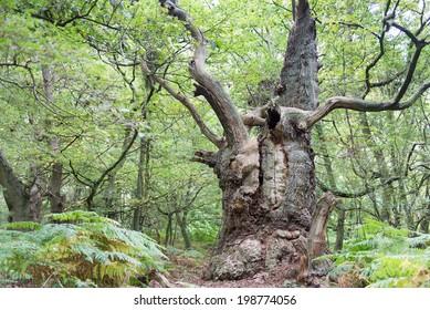 Big old oak tree on the island Vilm in Germany