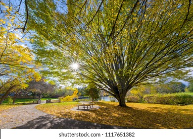 Big old tree at Commonwealth Lake Park in Beaverton Oregon with sun star burst during fall season