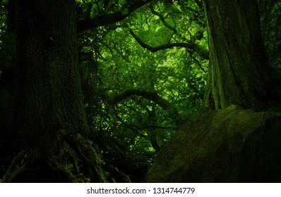 Big old trees and massive shaped branches in dark green forest