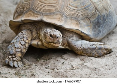 Big old turtle walking on sand in close view