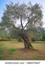 big olive tree in greece