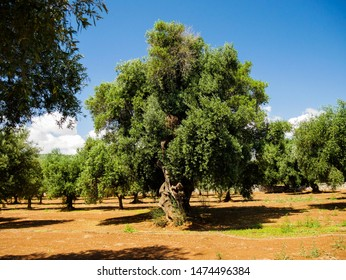 Big Olive Tree in Puglia